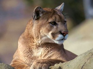 mountain-lion-001