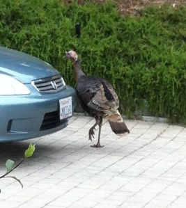 Turkey and Honda